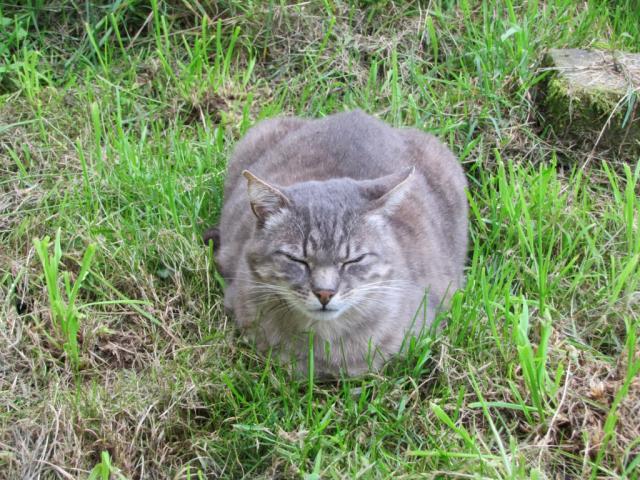 Spider chat tigré gris mâle FIV+ de 08/2005 - dpt 56 Img_1485-2eb37a2