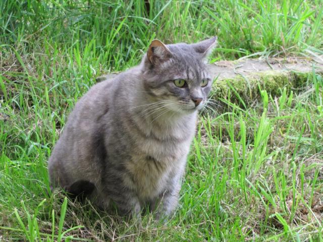 Spider chat tigré gris mâle FIV+ de 08/2005 - dpt 56 Img_1478-2eb3780